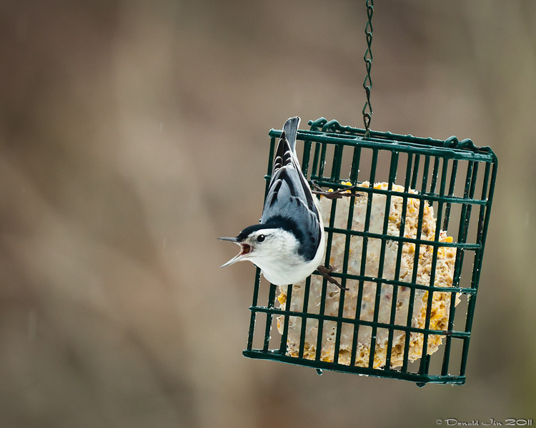 """Day 168: Free Food!<br /> This little guy and about 10 of his friends were having a feast at the feeder today.  We filled the feeders yesterday and by this afternoon, it is almost empty.  What happened to """"eating like a bird?"""""""