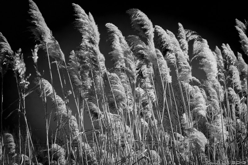 Day 134: Wind Blown<br /> I saw these tall grass off the side of a highway on my way home from work.  Not sure what they are called but I've been noticing a lot of them lately.  Nice looking plants, especially when they are blowing in the wind.