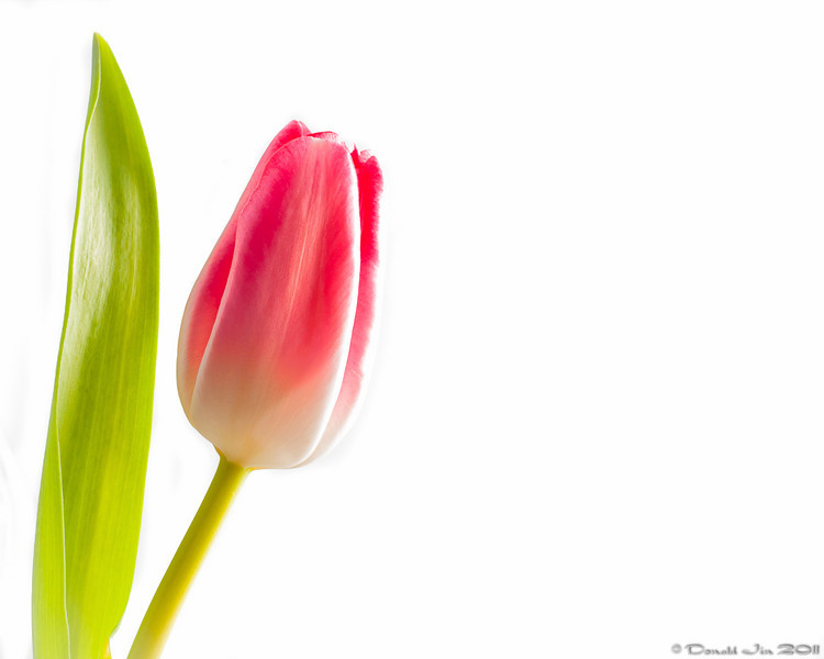 "Day 179:  High Key Tulip<br /> High key photography isn't necessarily any subject that's brightly lit with an overexposed white background.  A true high key requires a scene that is made up of predominantly ""light"" or ""high key"" tones (greater than the middle tone or 18% grey if shooting BW) such as soft pastel colors with minimal contrast and shadows.  <br /> <br /> Here's an attempt at a high key with a light colored tulip.  Canon Speedlight 580EX II was used with a shoot through umbrella from camera right.  Additional strobes were used to light directly on the white background and on camera left and low to get rid of shadows.  The challenge here was to blowout the background evenly without overexposing any part of the flower.  The right side of the flower looks overexposed here but that is because the flower petal is actually lighter on that side.  This would have been a lot easier with a darker colored flower."