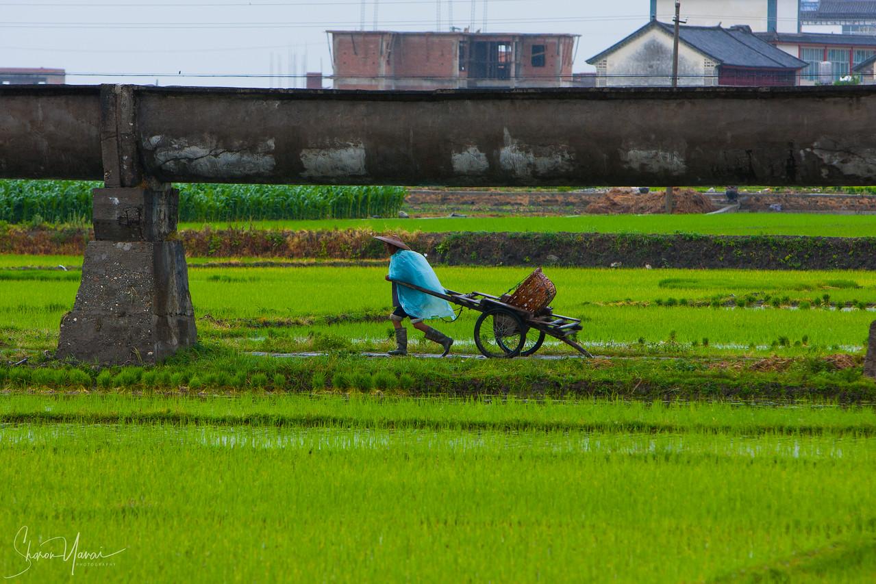 עבודה בטרסות האורז