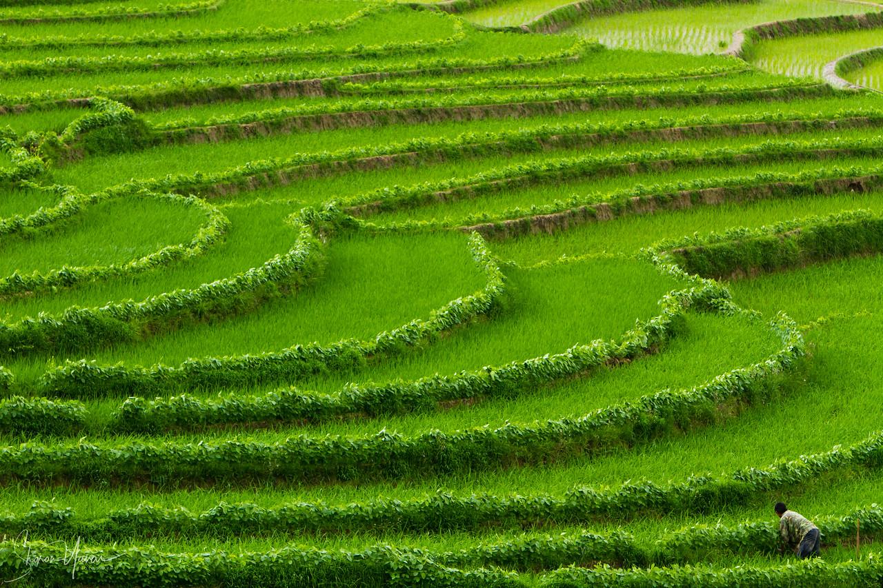 Rice Paddies, Yunnan, China