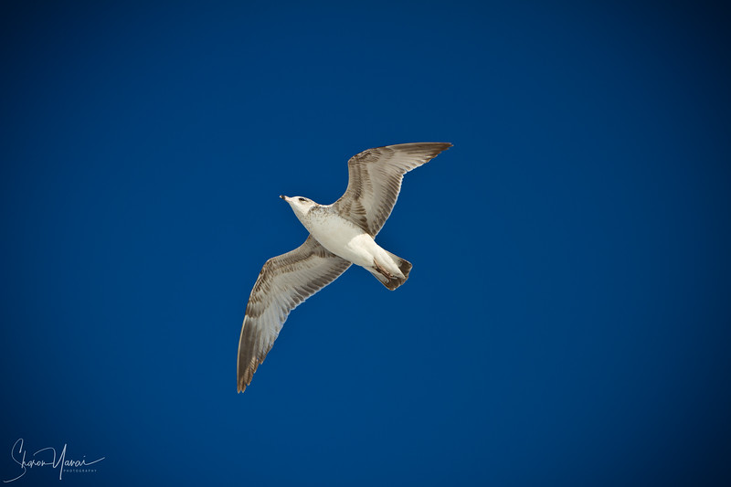 Seagull above in the sky
