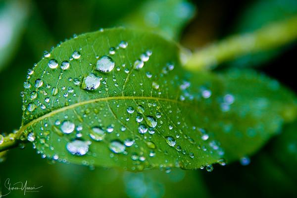 Dew on Leaf, Kachkar, Turkey