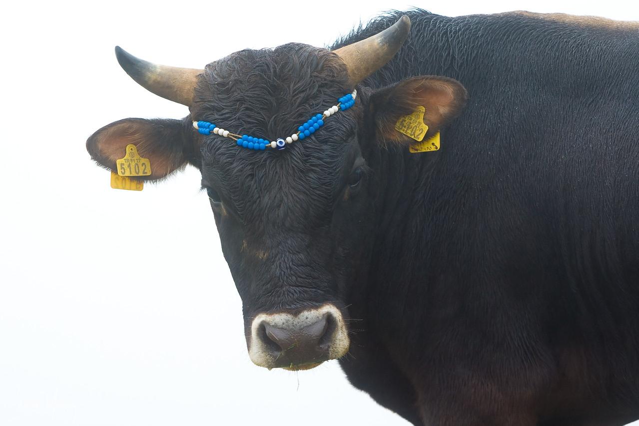 Cool Bull, Kachkar, Turkey