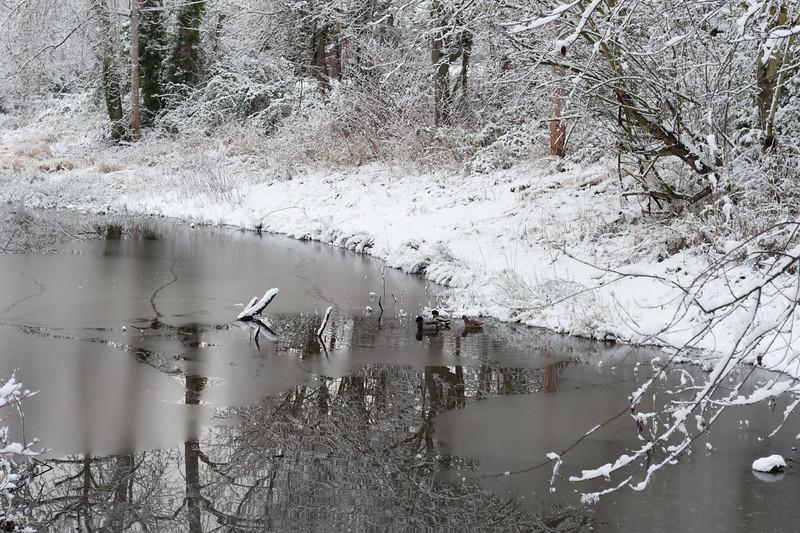 White Center Neighborhood Pond<br /> Mallards overwintering in the pond.