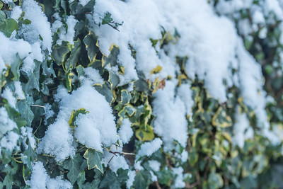 Snow on hedge,28  Feb 2018, Essex, England