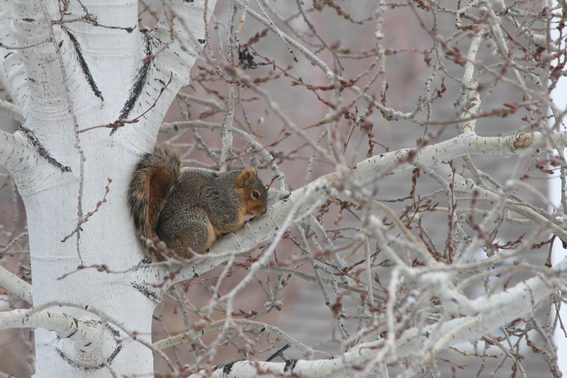 Just happened to see this little guy hunkered down in our Aspen tree in our back yard.