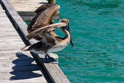 Pelican stretching its wings