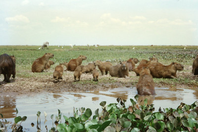 The capybara (Hydrochoerus hydrochaeris) is the largest rodent in the world, followed by the beaver, porcupine, and mara. Its closest relatives are guinea pigs and rock cavies, and it is more distantly related to the agouti, chinchillas, and the coypu. Native to South America, the capybara inhabits savannas and dense forests and lives near bodies of water. It is a highly social species and can be found in groups as large as 100 individuals, but usually lives in groups of 10–20 individuals. The capybara is not a threatened species, though it is hunted for its meat and hide and also for a grease from its thick fatty skin which is used in the pharmaceutical trade.