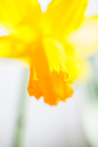 Daffodil highlights