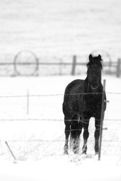 "The Black Horse<br /> A black horse standing in the snow near Klamath Falls, Oregon. <br /> Purchase this photo at the top right by clicking ""buy"".<br /> 2x3 printing format<br /> 16""x24"" Max printing size<br /> Displayed at 8""x12"""
