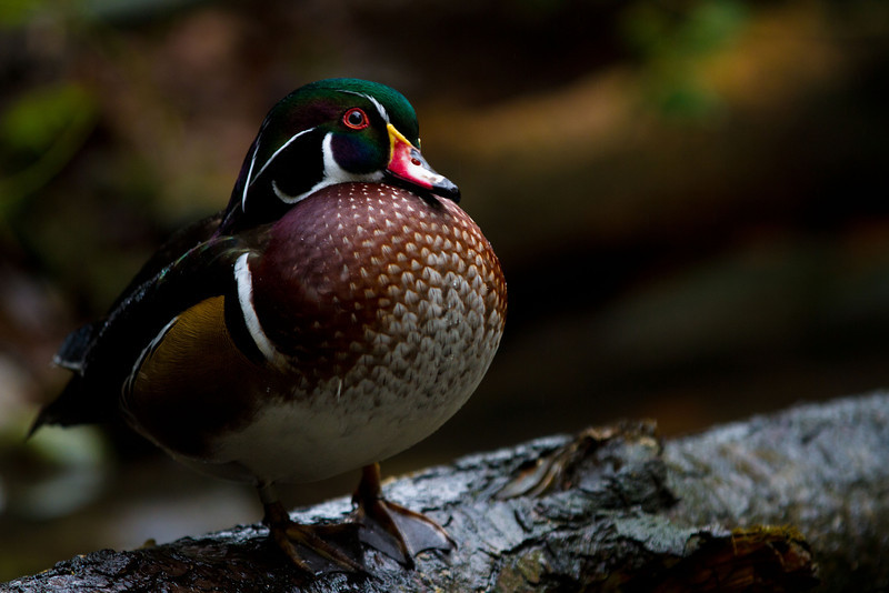 """Wood Duck<br /> A photo of a wood duck at the Oregon Zoo.<br /> Purchase this photo at the top right by clicking """"buy"""".<br /> 2x3 printing format<br /> 12""""x18"""" Max printing size<br /> Displayed at 8""""x12"""""""