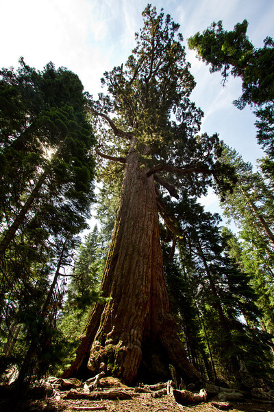 "Nature's Tower<br /> A photo of a sequoia tree in Mariposa Grove, California. <br /> Purchase this photo at the top right by clicking ""buy"".<br /> 2x3 printing format<br /> 24""x36"" Max printing size. <br /> Displayed at 12""x18"""