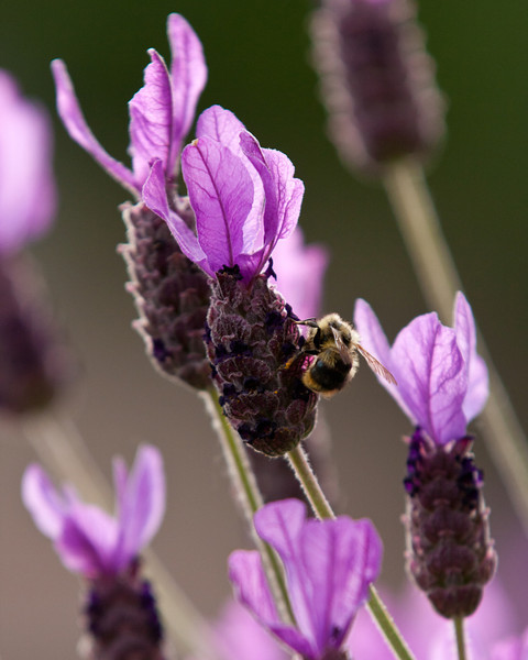 "The Lavender Bee<br /> A photo of a bee climbing blooming lavender in Oregon.<br /> Purchase this photo at the top right by clicking ""buy"".<br /> 4x5 printing format<br /> 20""x30"" Max printing size. <br /> Displayed at 16""x20"""