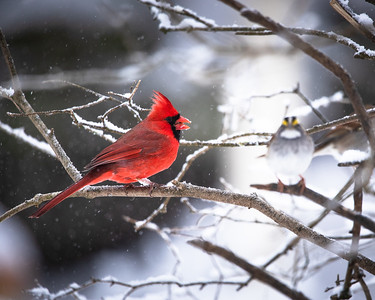 Northern Cardinal and White-Throated Sparrow