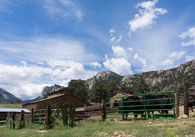 MacGregor Ranch Barn and Cattle