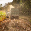Harvesting Maize to be used as animal fodder in Langley Park, near Slough, Berkshire