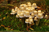 "Wild mushrooms growing in the Sacred Grove, near Palmyra, New York. To ORDER custom size prints of this image (takes one to two weeks), click on the ""Buy"" above this image (choose ""This Photo"" from the drop-down menu). You have your choice of glossy, luster, and metallic photographic paper prints, <a href=""http://www.smugmug.com/prints/giclee-canvas-watercolor"">Giclée Watercolor</a> prints, <a href=""http://www.smugmug.com/prints/giclee-canvas-watercolor"">Giclée Canvas</a> prints, <a href=""http://www.smugmug.com/prints/thinwraps"">ThinWraps</a> prints, and <a href=""http://www.smugmug.com/prints/metalprints"">Metal</a> prints. All custom prints are made by the professional people at <a href=""http://bayphoto.com/"" target=""_blank"">Bay Photo Lab</a>, and shipped directly to you."
