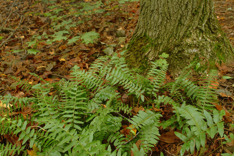 "Ferns on the forest floor in the Sacred Grove, near Palmyra, New York. To ORDER custom size prints of this image (takes one to two weeks), click on the ""Buy"" above this image (choose ""This Photo"" from the drop-down menu). You have your choice of glossy, luster, and metallic photographic paper prints, <a href=""http://www.smugmug.com/prints/giclee-canvas-watercolor"">Giclée Watercolor</a> prints, <a href=""http://www.smugmug.com/prints/giclee-canvas-watercolor"">Giclée Canvas</a> prints, <a href=""http://www.smugmug.com/prints/thinwraps"">ThinWraps</a> prints, and <a href=""http://www.smugmug.com/prints/metalprints"">Metal</a> prints. All custom prints are made by the professional people at <a href=""http://bayphoto.com/"" target=""_blank"">Bay Photo Lab</a>, and shipped directly to you."