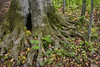 "Close up of a large tree trunk in the Sacred Grove, near Palmyra, New York. To ORDER custom size prints of this image (takes one to two weeks), click on the ""Buy"" above this image (choose ""This Photo"" from the drop-down menu). You have your choice of glossy, luster, and metallic photographic paper prints, <a href=""http://www.smugmug.com/prints/giclee-canvas-watercolor"">Giclée Watercolor</a> prints, <a href=""http://www.smugmug.com/prints/giclee-canvas-watercolor"">Giclée Canvas</a> prints, <a href=""http://www.smugmug.com/prints/thinwraps"">ThinWraps</a> prints, and <a href=""http://www.smugmug.com/prints/metalprints"">Metal</a> prints. All custom prints are made by the professional people at <a href=""http://bayphoto.com/"" target=""_blank"">Bay Photo Lab</a>, and shipped directly to you."