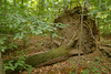 "A tree that was blown over in the Sacred Grove, near Palmyra, New York. To ORDER custom size prints of this image (takes one to two weeks), click on the ""Buy"" above this image (choose ""This Photo"" from the drop-down menu). You have your choice of glossy, luster, and metallic photographic paper prints, <a href=""http://www.smugmug.com/prints/giclee-canvas-watercolor"">Giclée Watercolor</a> prints, <a href=""http://www.smugmug.com/prints/giclee-canvas-watercolor"">Giclée Canvas</a> prints, <a href=""http://www.smugmug.com/prints/thinwraps"">ThinWraps</a> prints, and <a href=""http://www.smugmug.com/prints/metalprints"">Metal</a> prints. All custom prints are made by the professional people at <a href=""http://bayphoto.com/"" target=""_blank"">Bay Photo Lab</a>, and shipped directly to you."