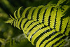 "Close up of a fern in the Sacred Grove, near Palmyra, New York. To ORDER custom size prints of this image (takes one to two weeks), click on the ""Buy"" above this image (choose ""This Photo"" from the drop-down menu). You have your choice of glossy, luster, and metallic photographic paper prints, <a href=""http://www.smugmug.com/prints/giclee-canvas-watercolor"">Giclée Watercolor</a> prints, <a href=""http://www.smugmug.com/prints/giclee-canvas-watercolor"">Giclée Canvas</a> prints, <a href=""http://www.smugmug.com/prints/thinwraps"">ThinWraps</a> prints, and <a href=""http://www.smugmug.com/prints/metalprints"">Metal</a> prints. All custom prints are made by the professional people at <a href=""http://bayphoto.com/"" target=""_blank"">Bay Photo Lab</a>, and shipped directly to you."