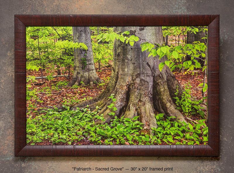 "<i>""Patriarch""</i> - Sacred Grove ~ NOTE: This pre-printed and frame edition has sold out. You can only order custom prints (go to the bottom of this paragraph and use the ""Click Here""). This is a pre-printed, ready-to-hang, framed print (30"" x 20"" with UV-anti-fade-anti-glare lamination, simulated cherry wood frame, with hanging wire & hanging hardware). FRAMED PRICE is $136.00 + tax. PRINT ONLY PRICE is $54.00 + tax. To purchase, call 801-569-0922 or 801-558-2701, or email to RoyceBairPhoto@gmail.com — To order custom size prints of this image (takes one to two weeks), <a href=""http://roycebair.smugmug.com/Personal-Work/Sacred-Grove/6588918_ZzngLj#!i=3313675845&k=HXHgs4G"">click here</a>."