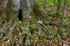 "Close up of a large tree trunk (note dollar bill for size comparison) in the Sacred Grove, near Palmyra, New York. To ORDER custom size prints of this image (takes one to two weeks), click on the ""Buy"" above this image (choose ""This Photo"" from the drop-down menu). You have your choice of glossy, luster, and metallic photographic paper prints, <a href=""http://www.smugmug.com/prints/giclee-canvas-watercolor"">Giclée Watercolor</a> prints, <a href=""http://www.smugmug.com/prints/giclee-canvas-watercolor"">Giclée Canvas</a> prints, <a href=""http://www.smugmug.com/prints/thinwraps"">ThinWraps</a> prints, and <a href=""http://www.smugmug.com/prints/metalprints"">Metal</a> prints. All custom prints are made by the professional people at <a href=""http://bayphoto.com/"" target=""_blank"">Bay Photo Lab</a>, and shipped directly to you."