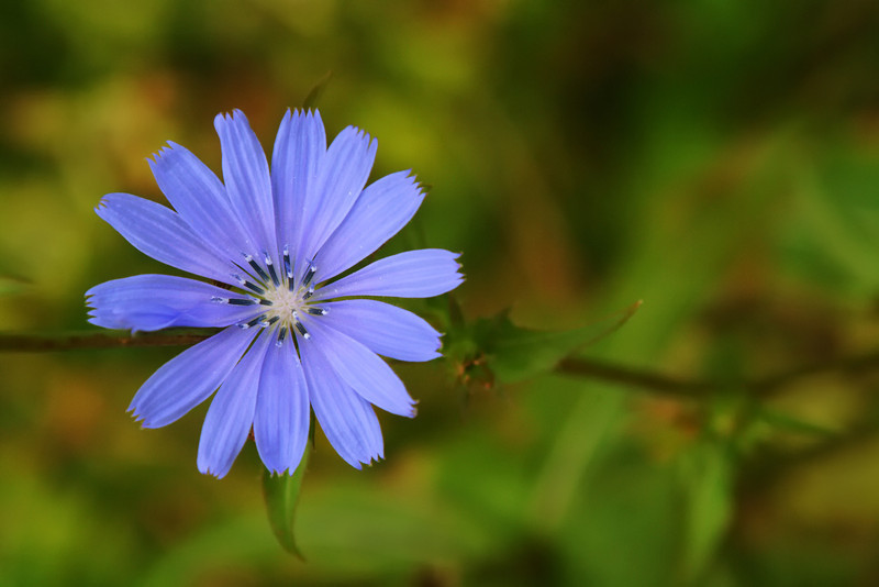 """A wild blue aster in the Sacred Grove. To ORDER custom size prints of this image (takes one to two weeks), click on the """"Buy"""" above this image (choose """"This Photo"""" from the drop-down menu). You have your choice of glossy, luster, and metallic photographic paper prints, <a href=""""http://www.smugmug.com/prints/giclee-canvas-watercolor"""">Giclée Watercolor</a> prints, <a href=""""http://www.smugmug.com/prints/giclee-canvas-watercolor"""">Giclée Canvas</a> prints, <a href=""""http://www.smugmug.com/prints/thinwraps"""">ThinWraps</a> prints, and <a href=""""http://www.smugmug.com/prints/metalprints"""">Metal</a> prints. All custom prints are made by the professional people at <a href=""""http://bayphoto.com/"""" target=""""_blank"""">Bay Photo Lab</a>, and shipped directly to you."""