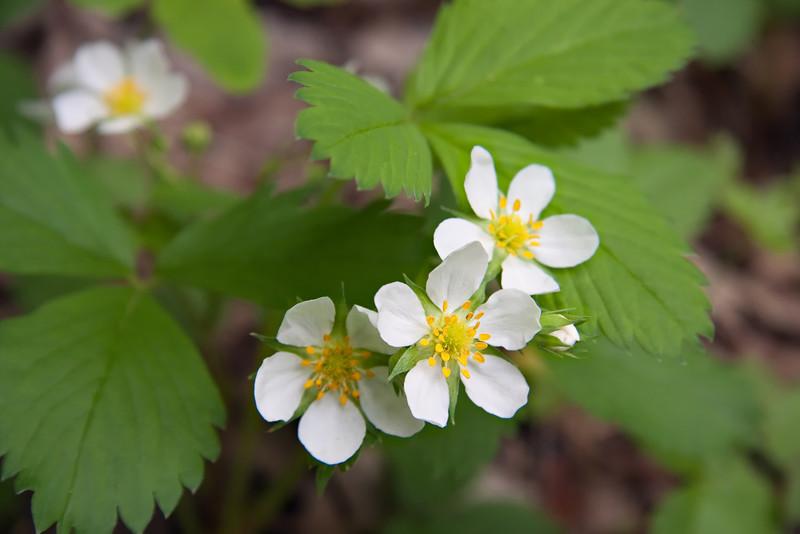 Wild Strawberries in bloom