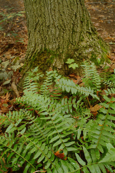 "Ferns in the Sacred Grove, near Palmyra, New York. To ORDER custom size prints of this image (takes one to two weeks), click on the ""Buy"" above this image (choose ""This Photo"" from the drop-down menu). You have your choice of glossy, luster, and metallic photographic paper prints, <a href=""http://www.smugmug.com/prints/giclee-canvas-watercolor"">Giclée Watercolor</a> prints, <a href=""http://www.smugmug.com/prints/giclee-canvas-watercolor"">Giclée Canvas</a> prints, <a href=""http://www.smugmug.com/prints/thinwraps"">ThinWraps</a> prints, and <a href=""http://www.smugmug.com/prints/metalprints"">Metal</a> prints. All custom prints are made by the professional people at <a href=""http://bayphoto.com/"" target=""_blank"">Bay Photo Lab</a>, and shipped directly to you."