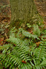 """Ferns in the Sacred Grove, near Palmyra, New York. To ORDER custom size prints of this image (takes one to two weeks), click on the """"Buy"""" above this image (choose """"This Photo"""" from the drop-down menu). You have your choice of glossy, luster, and metallic photographic paper prints, <a href=""""http://www.smugmug.com/prints/giclee-canvas-watercolor"""">Giclée Watercolor</a> prints, <a href=""""http://www.smugmug.com/prints/giclee-canvas-watercolor"""">Giclée Canvas</a> prints, <a href=""""http://www.smugmug.com/prints/thinwraps"""">ThinWraps</a> prints, and <a href=""""http://www.smugmug.com/prints/metalprints"""">Metal</a> prints. All custom prints are made by the professional people at <a href=""""http://bayphoto.com/"""" target=""""_blank"""">Bay Photo Lab</a>, and shipped directly to you."""