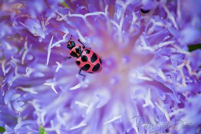 ladybug-012