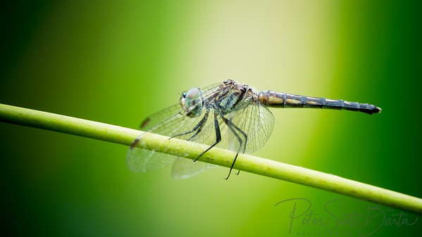 Dragonfly-007