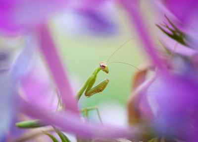 Preying_Mantis-024