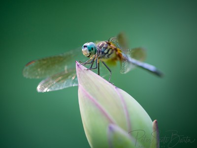 Dragonfly-003