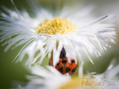 ladybug-004