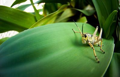 Grasshopper (Schistocerca Americana), 2007