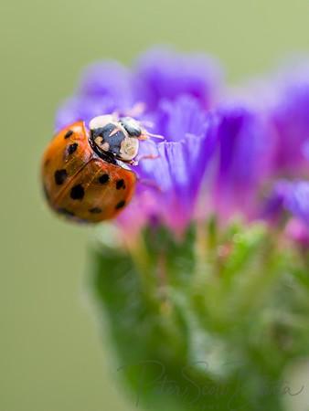 ladybug-010