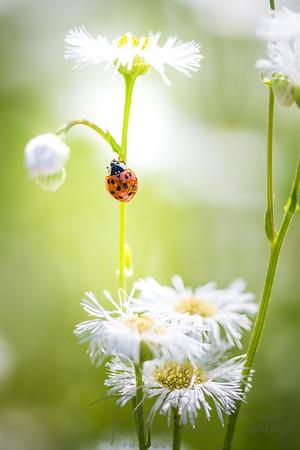 ladybug-003