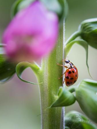 ladybug-007
