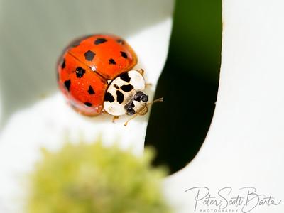 ladybug-011
