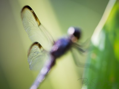 Dragonfly-006