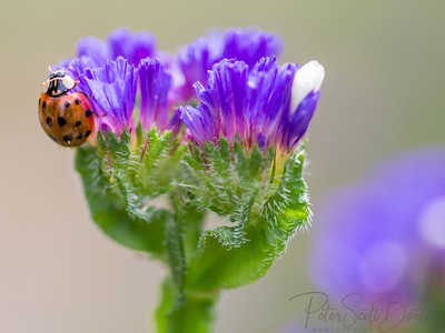 ladybug-009