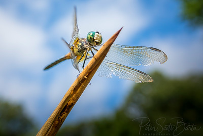 Dragonfly-008