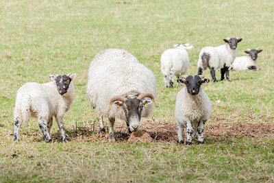 Sheep on the Loan