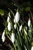 Snowdrops in the spring by the Lyne Water