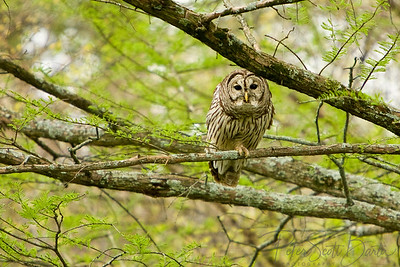 Barred_Owl-001