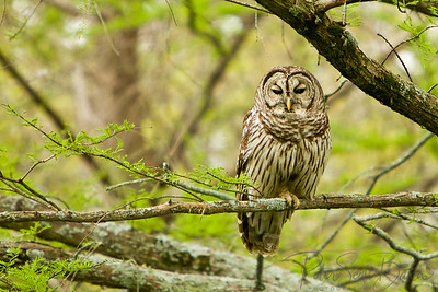 Barred_Owl-002