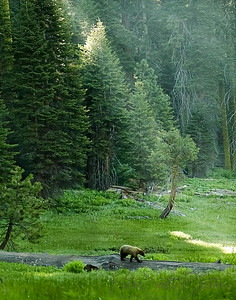 Saquoia  Bear Sunshine, 2003